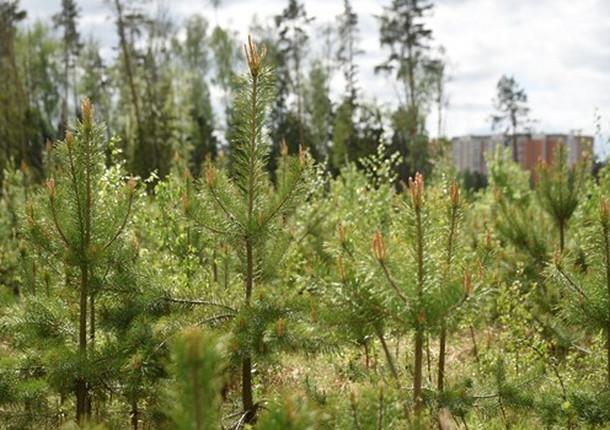 В Балашихе посадили сосны